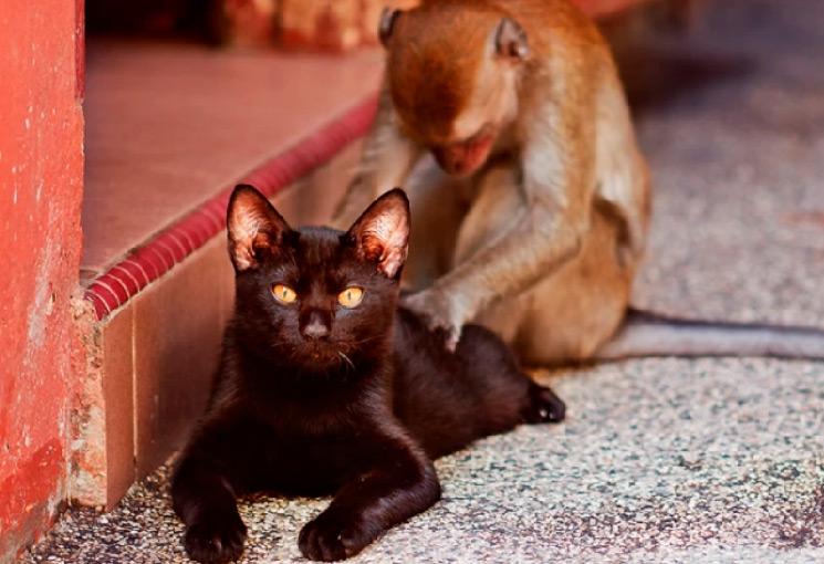 Como el gato y el chango